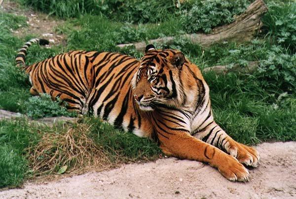 кошки львы тигры фото